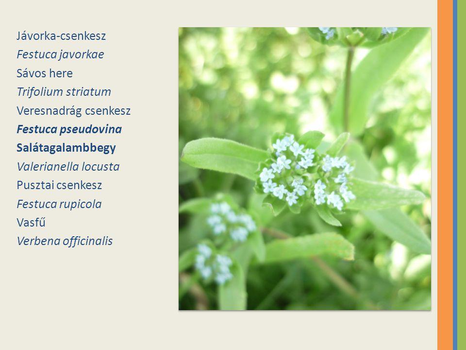 Jávorka-csenkesz Festuca javorkae. Sávos here. Trifolium striatum. Veresnadrág csenkesz. Festuca pseudovina.