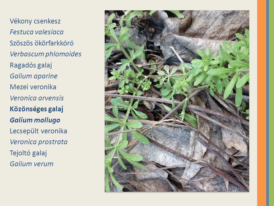 Vékony csenkesz Festuca valesiaca. Szöszös ökörfarkkóró. Verbascum phlomoides. Ragadós galaj. Galium aparine.