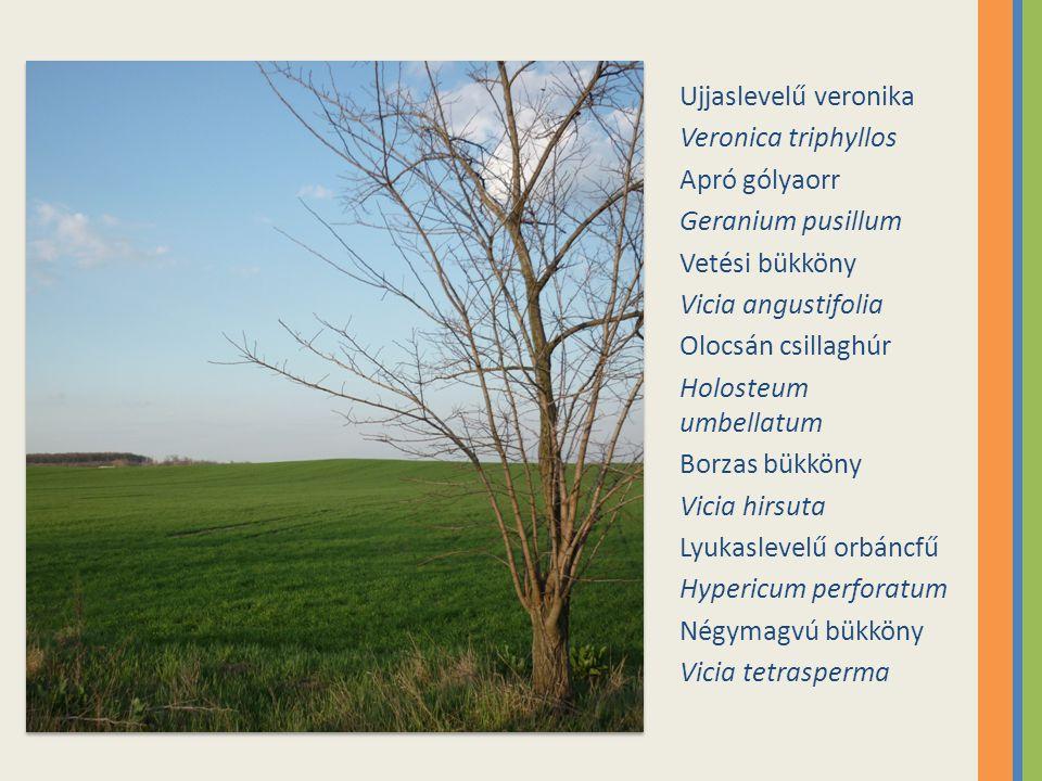 Ujjaslevelű veronika Veronica triphyllos. Apró gólyaorr. Geranium pusillum. Vetési bükköny. Vicia angustifolia.