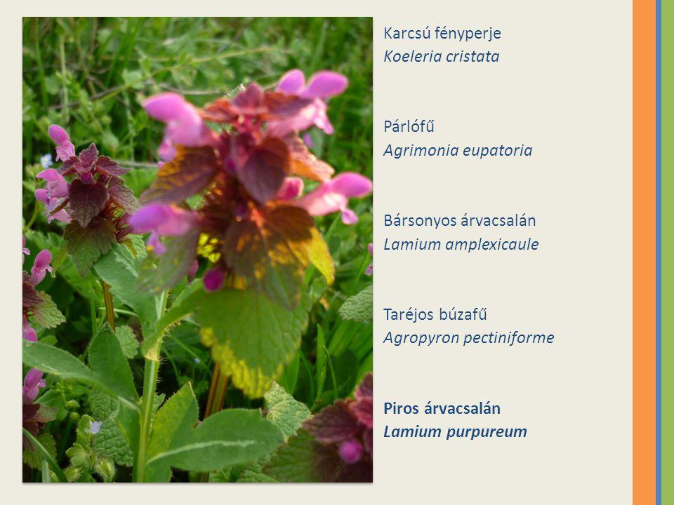 Karcsú fényperje Koeleria cristata. Párlófű. Agrimonia eupatoria. Bársonyos árvacsalán. Lamium amplexicaule.