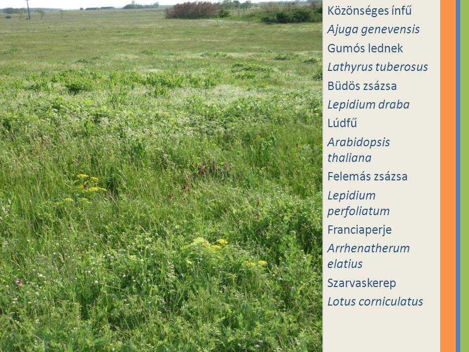 Közönséges ínfű Ajuga genevensis. Gumós lednek. Lathyrus tuberosus. Büdös zsázsa. Lepidium draba.