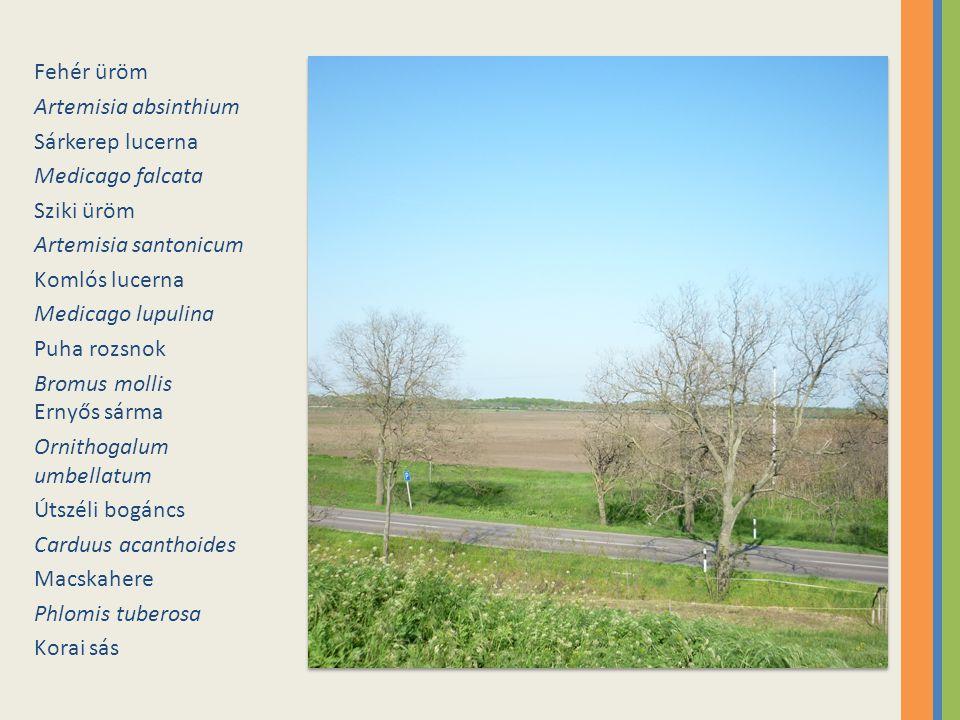 Fehér üröm Artemisia absinthium. Sárkerep lucerna. Medicago falcata. Sziki üröm. Artemisia santonicum.