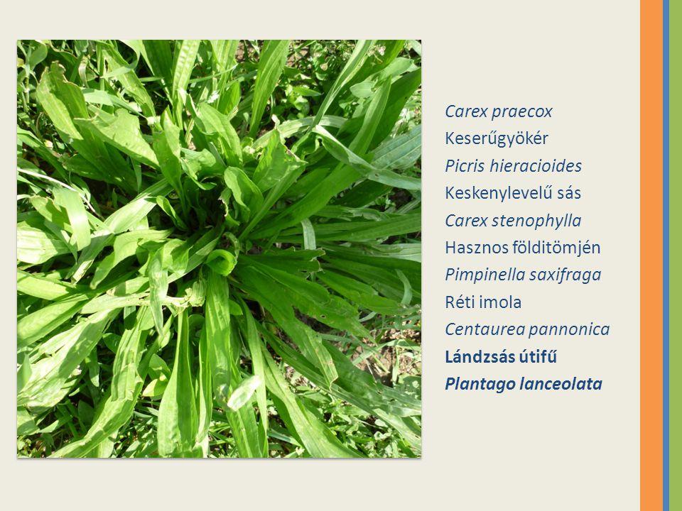 Carex praecox Keserűgyökér. Picris hieracioides. Keskenylevelű sás. Carex stenophylla. Hasznos földitömjén.