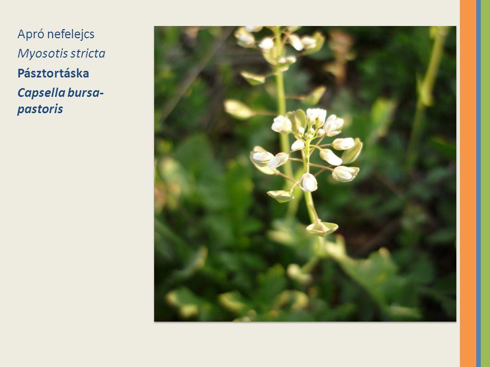 Apró nefelejcs Myosotis stricta Pásztortáska Capsella bursa-pastoris