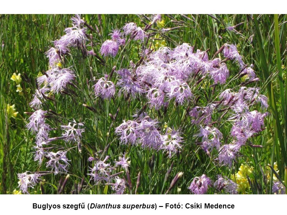 Buglyos szegfű (Dianthus superbus) – Fotó: Csíki Medence