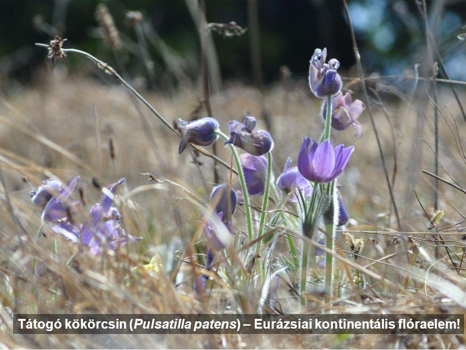 Tátogó kökörcsin (Pulsatilla patens) – Eurázsiai kontinentális flóraelem!