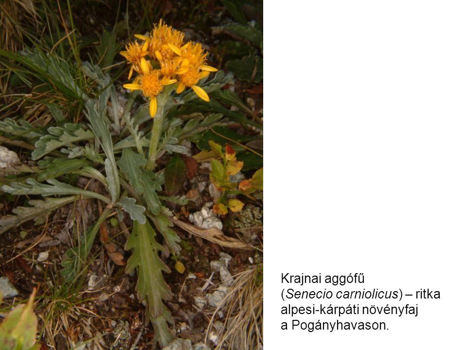 Krajnai aggófű (Senecio carniolicus) – ritka alpesi-kárpáti növényfaj a Pogányhavason.