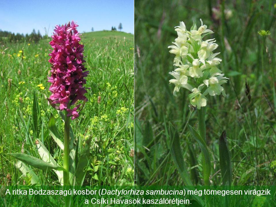 A ritka Bodzaszagú kosbor (Dactylorhiza sambucina) még tömegesen virágzik a Csíki Havasok kaszálórétjein.
