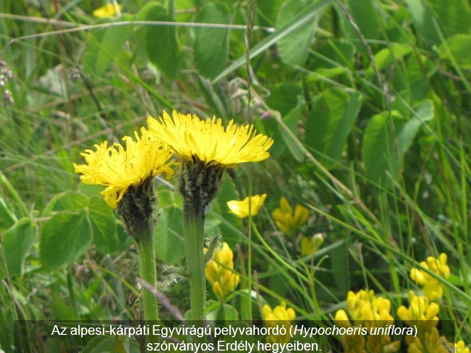 Az alpesi-kárpáti Egyvirágú pelyvahordó (Hypochoeris uniflora)