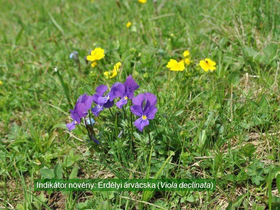 Indikátor növény: Erdélyi árvácska (Viola declinata)