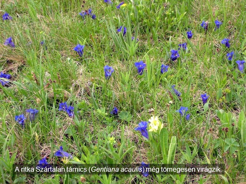 A ritka Szártalan tárnics (Gentiana acaulis) még tömegesen virágzik.