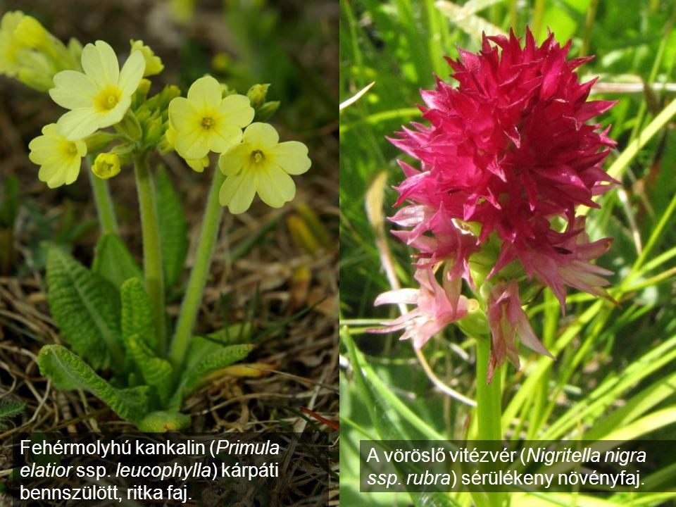 Fehérmolyhú kankalin (Primula elatior ssp