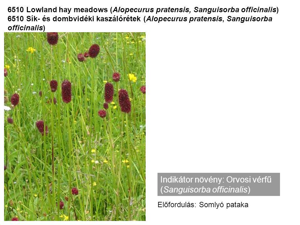 Indikátor növény: Orvosi vérfű (Sanguisorba officinalis)