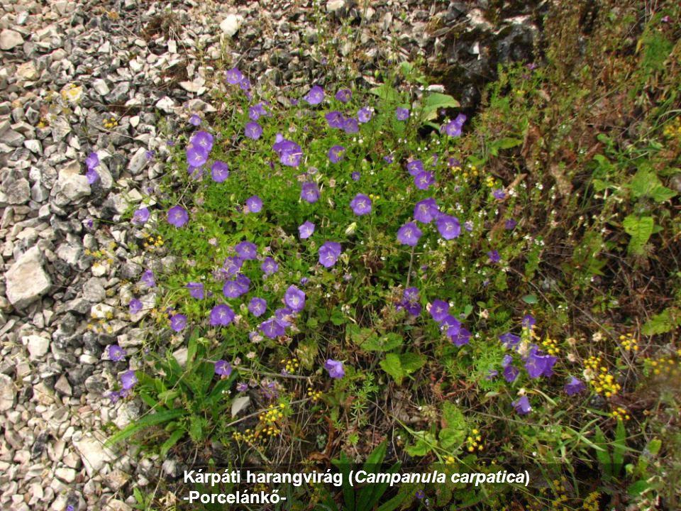 Kárpáti harangvirág (Campanula carpatica)