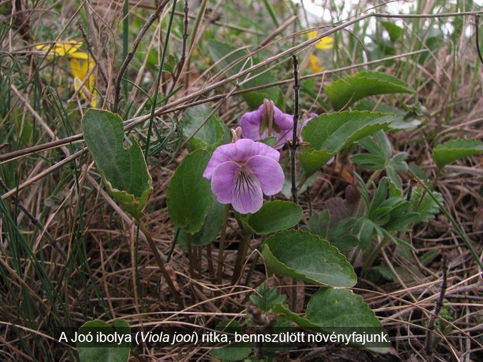 A Joó ibolya (Viola jooi) ritka, bennszülött növényfajunk.