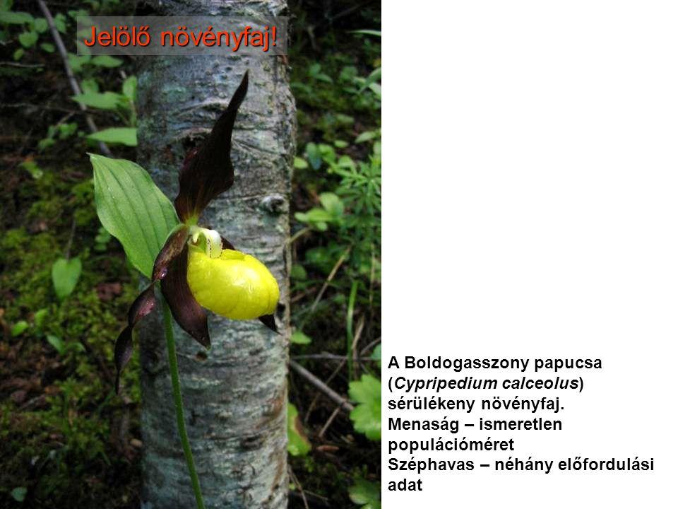 Jelölő növényfaj! A Boldogasszony papucsa (Cypripedium calceolus) sérülékeny növényfaj. Menaság – ismeretlen populációméret.