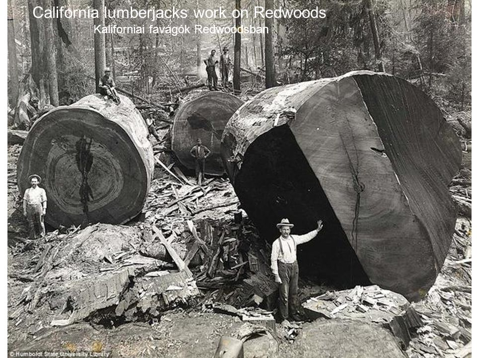 California lumberjacks work on Redwoods