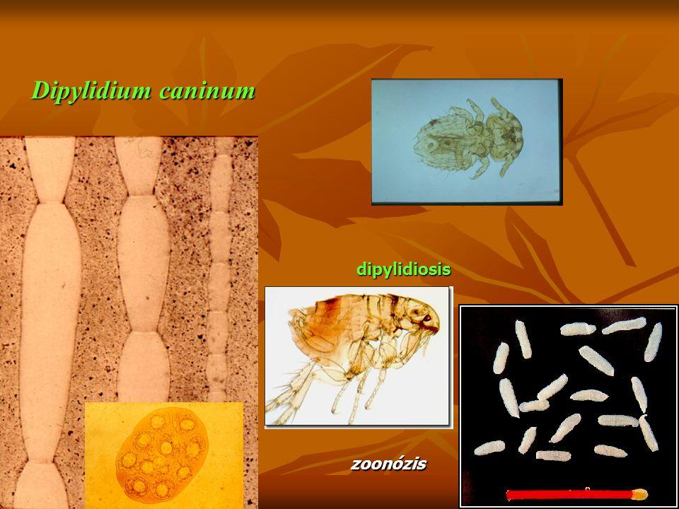 Dipylidium caninum dipylidiosis zoonózis