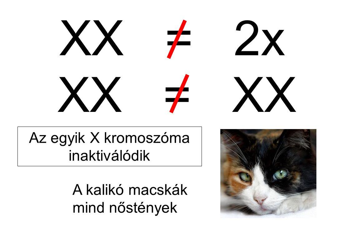 Az egyik X kromoszóma inaktiválódik