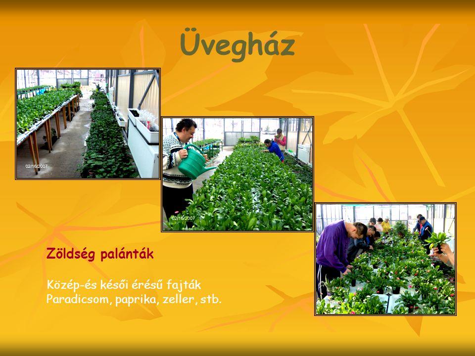 Üvegház Zöldség palánták Közép-és késői érésű fajták