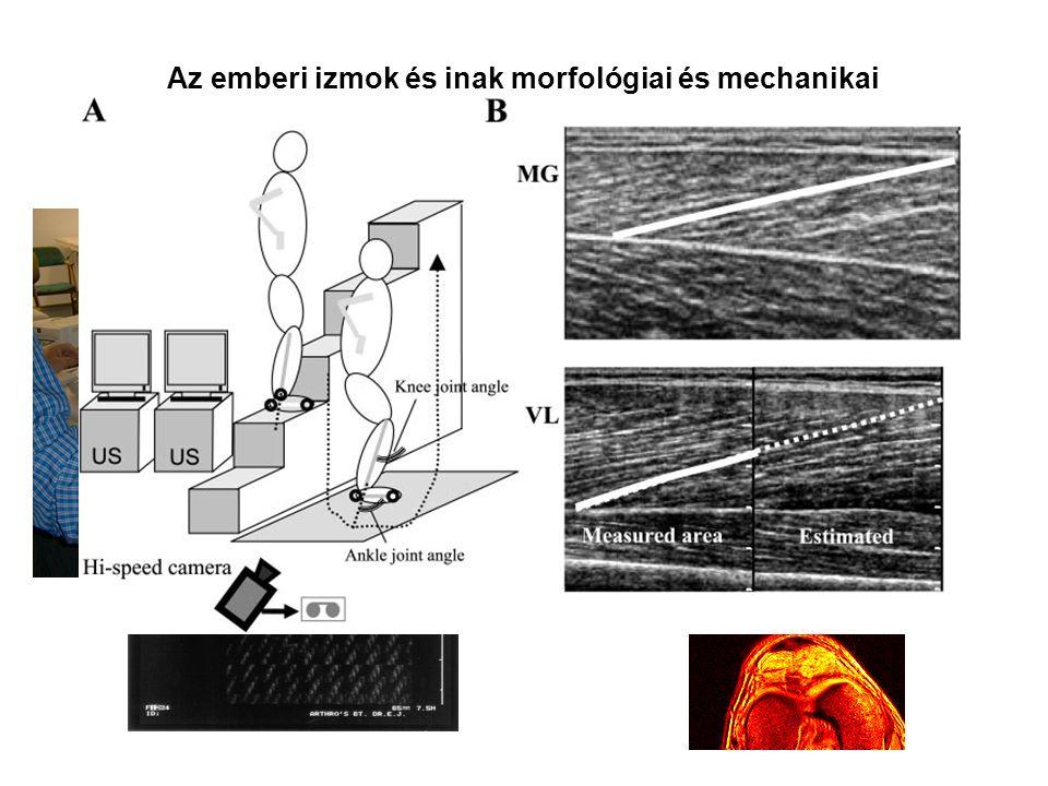 Az emberi izmok és inak morfológiai és mechanikai tulajdonságainak mérése