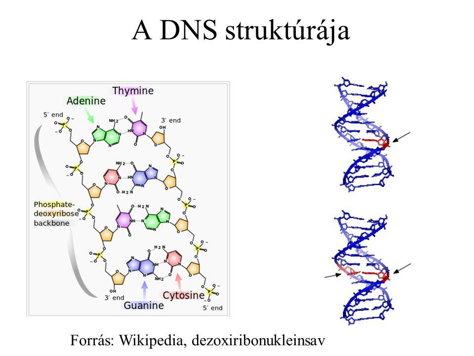 A DNS struktúrája Forrás: Wikipedia, dezoxiribonukleinsav