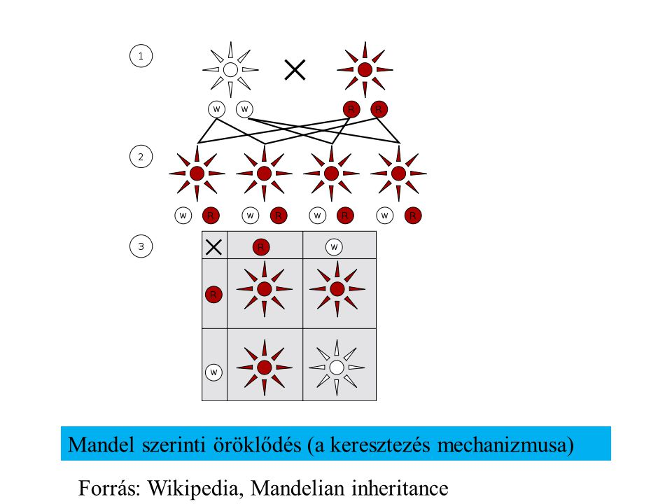 Mandel szerinti öröklődés (a keresztezés mechanizmusa)