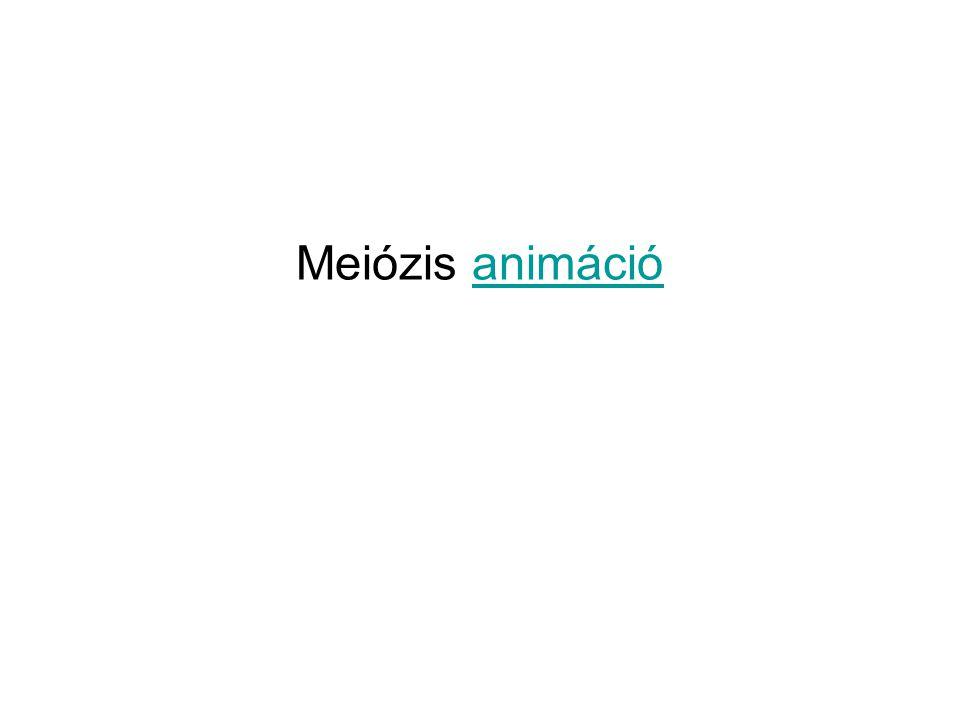 Meiózis animáció