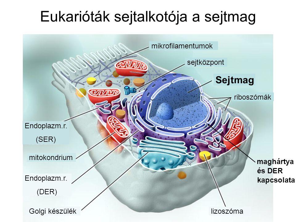 Eukarióták sejtalkotója a sejtmag