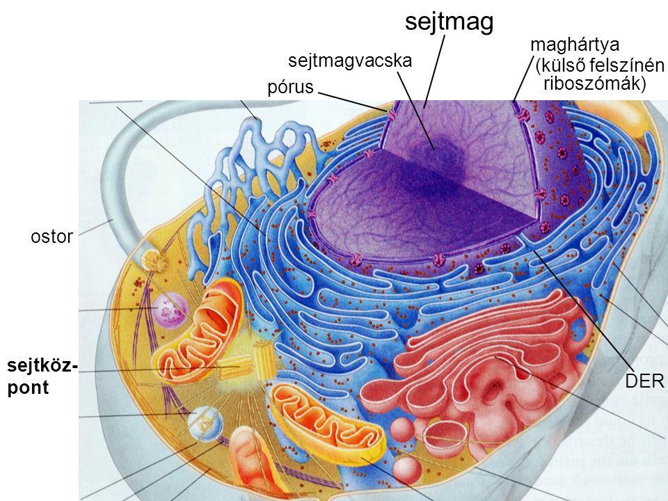 sejtmag maghártya sejtmagvacska (külső felszínén riboszómák) pórus