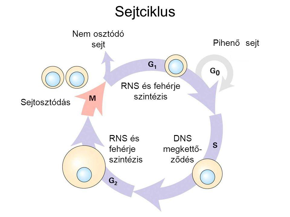 RNS és fehérje szintézis