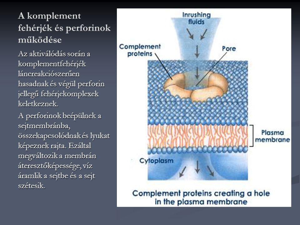 A komplement fehérjék és perforinok működése