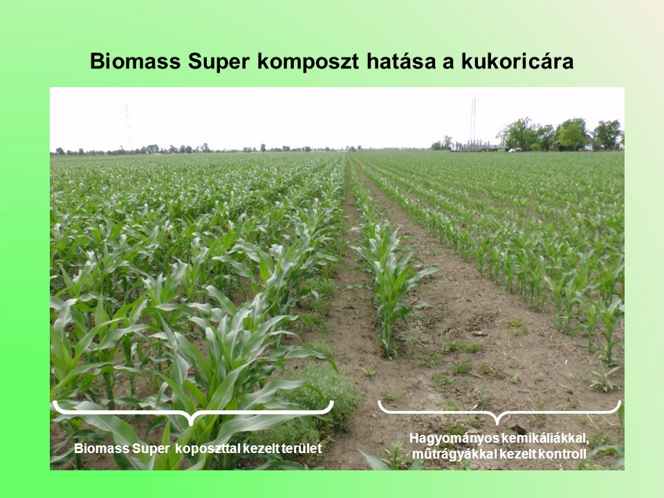 Biomass Super komposzt hatása a kukoricára