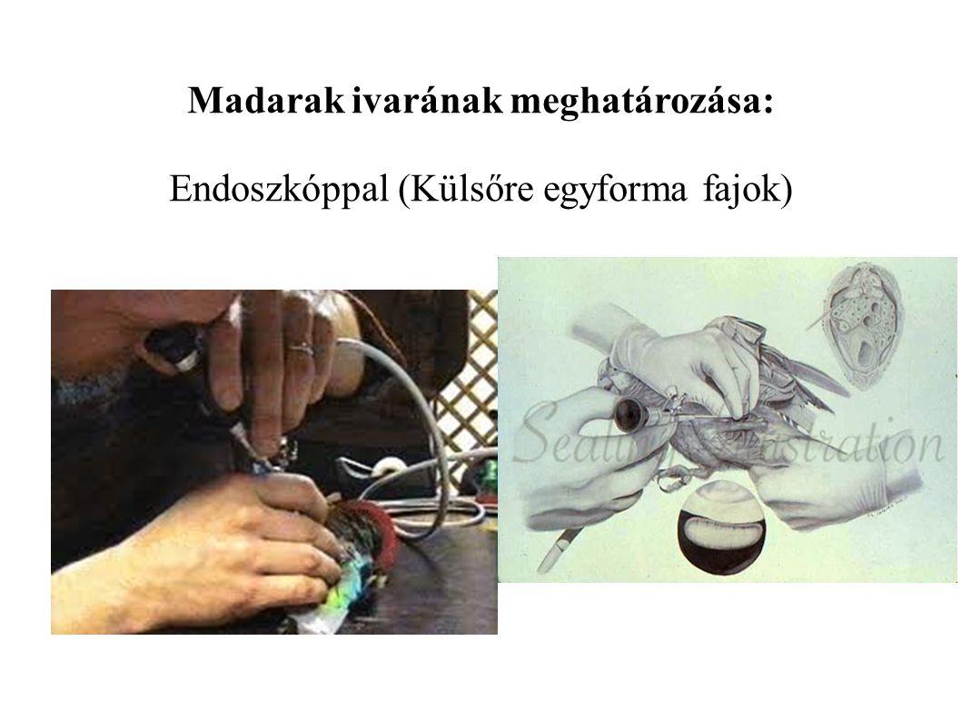 Madarak ivarának meghatározása: