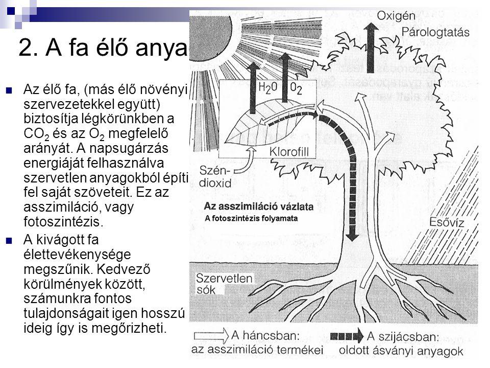 2. A fa élő anyag: