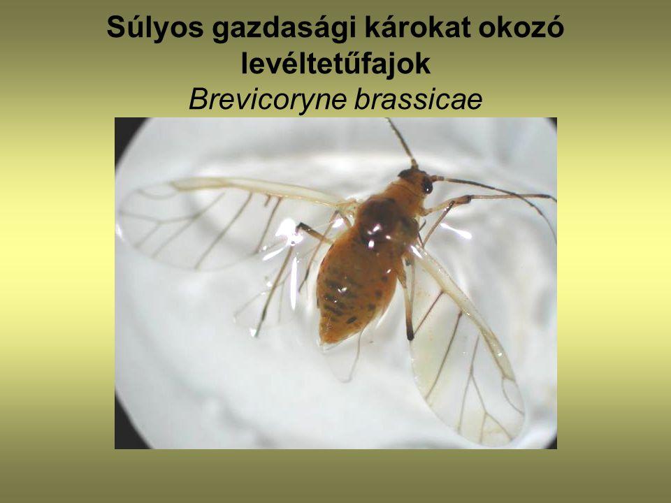 Súlyos gazdasági károkat okozó levéltetűfajok Brevicoryne brassicae