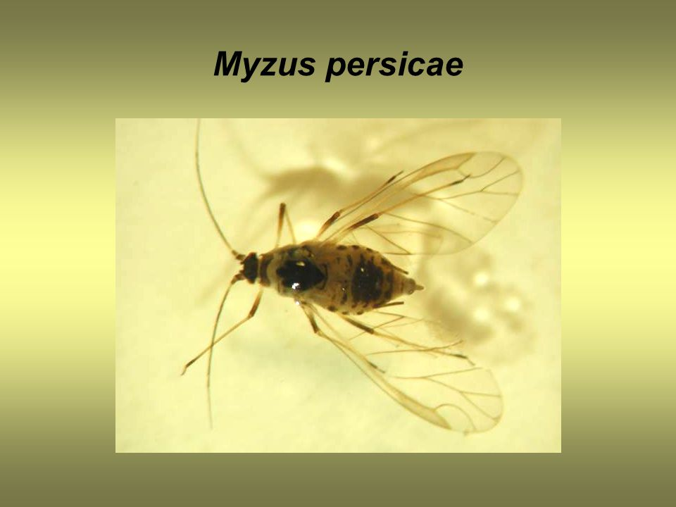 Myzus persicae
