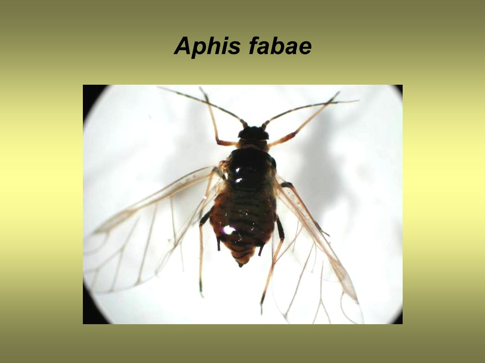 Aphis fabae