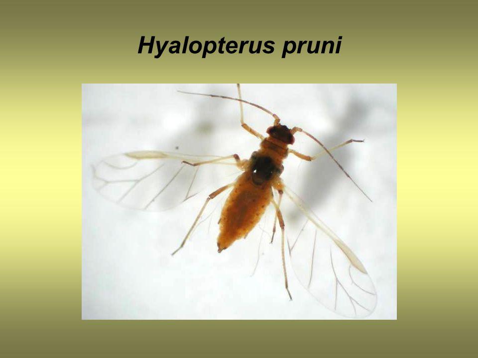 Hyalopterus pruni