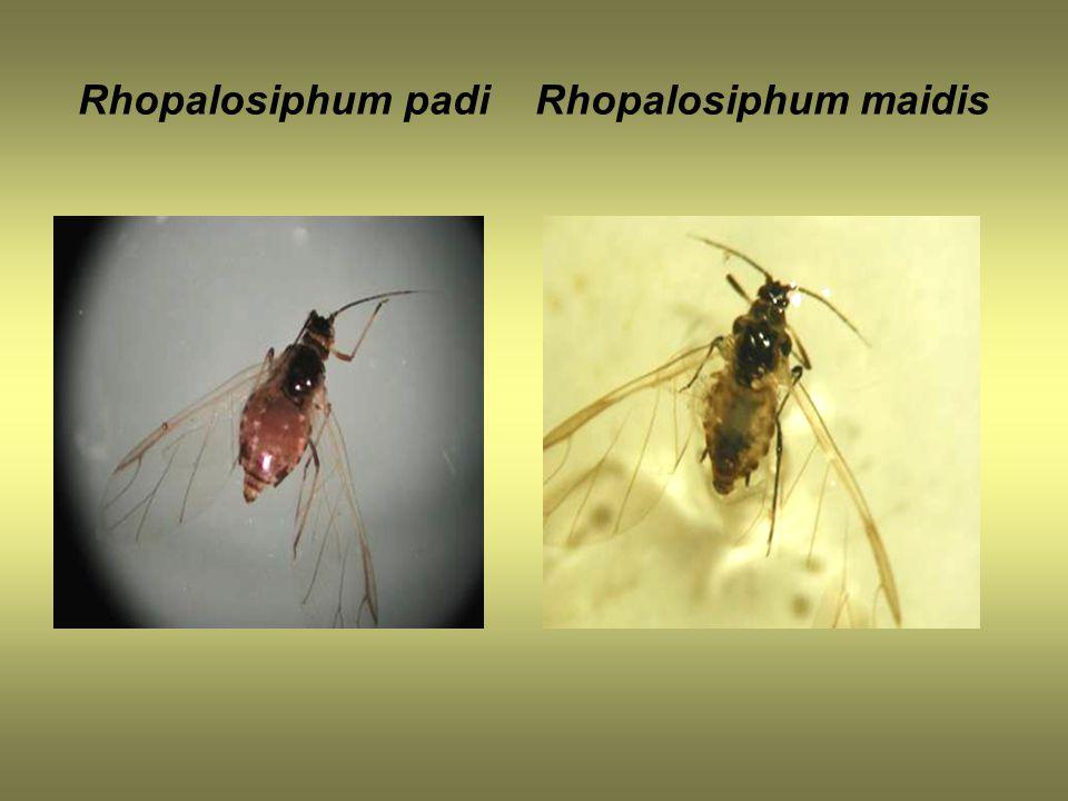 Rhopalosiphum padi Rhopalosiphum maidis