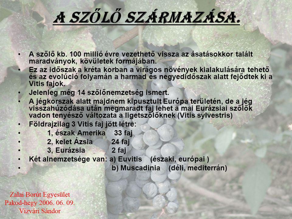 A SZŐLŐ SZÁRMAZÁSA. A szőlő kb. 100 millió évre vezethető vissza az ásatásokkor talált maradványok, kövületek formájában.