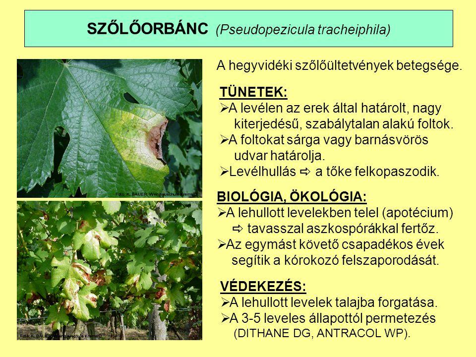 SZŐLŐORBÁNC (Pseudopezicula tracheiphila)