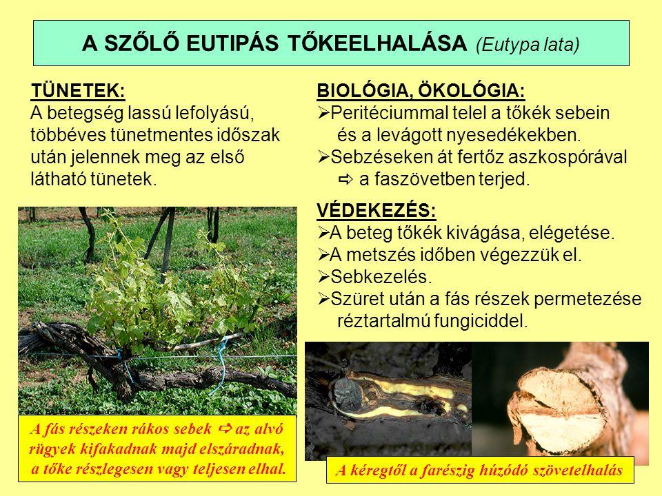 A SZŐLŐ EUTIPÁS TŐKEELHALÁSA (Eutypa lata)
