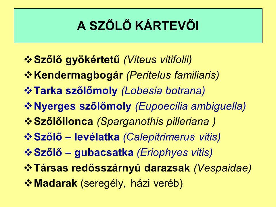A SZŐLŐ KÁRTEVŐI Szőlő gyökértetű (Viteus vitifolii)
