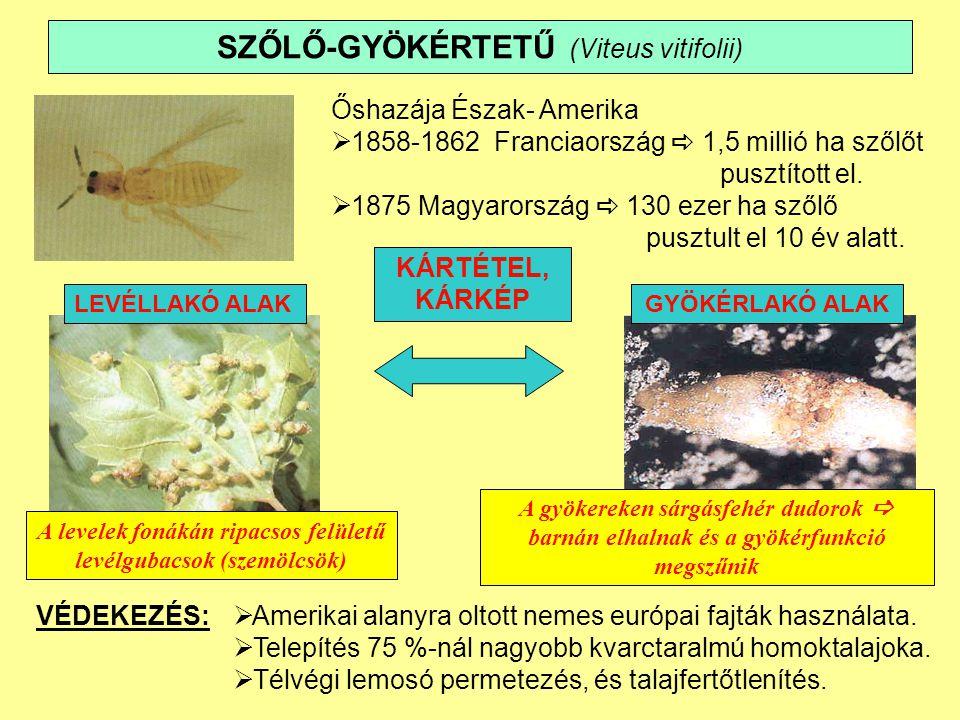 SZŐLŐ-GYÖKÉRTETŰ (Viteus vitifolii)