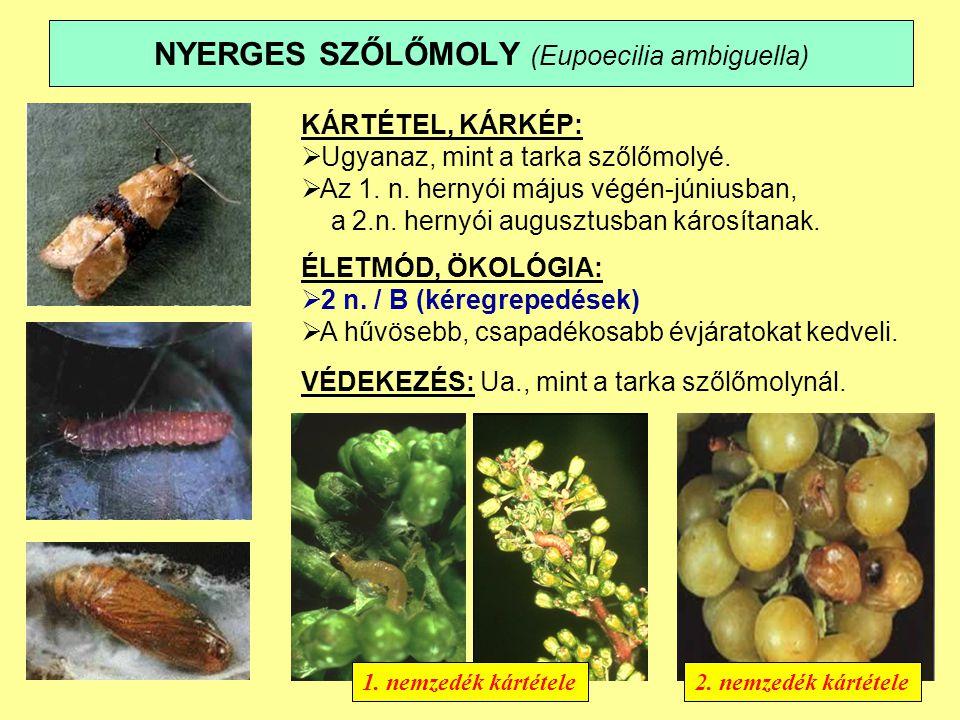 NYERGES SZŐLŐMOLY (Eupoecilia ambiguella)