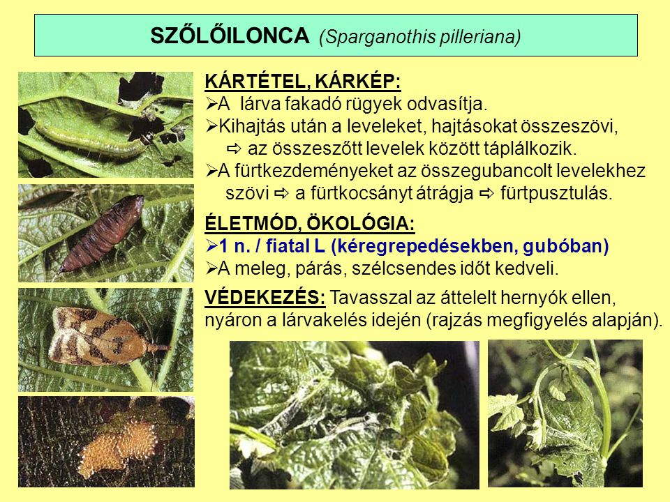 SZŐLŐILONCA (Sparganothis pilleriana)