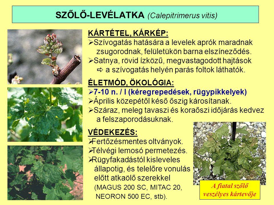 SZŐLŐ-LEVÉLATKA (Calepitrimerus vitis)