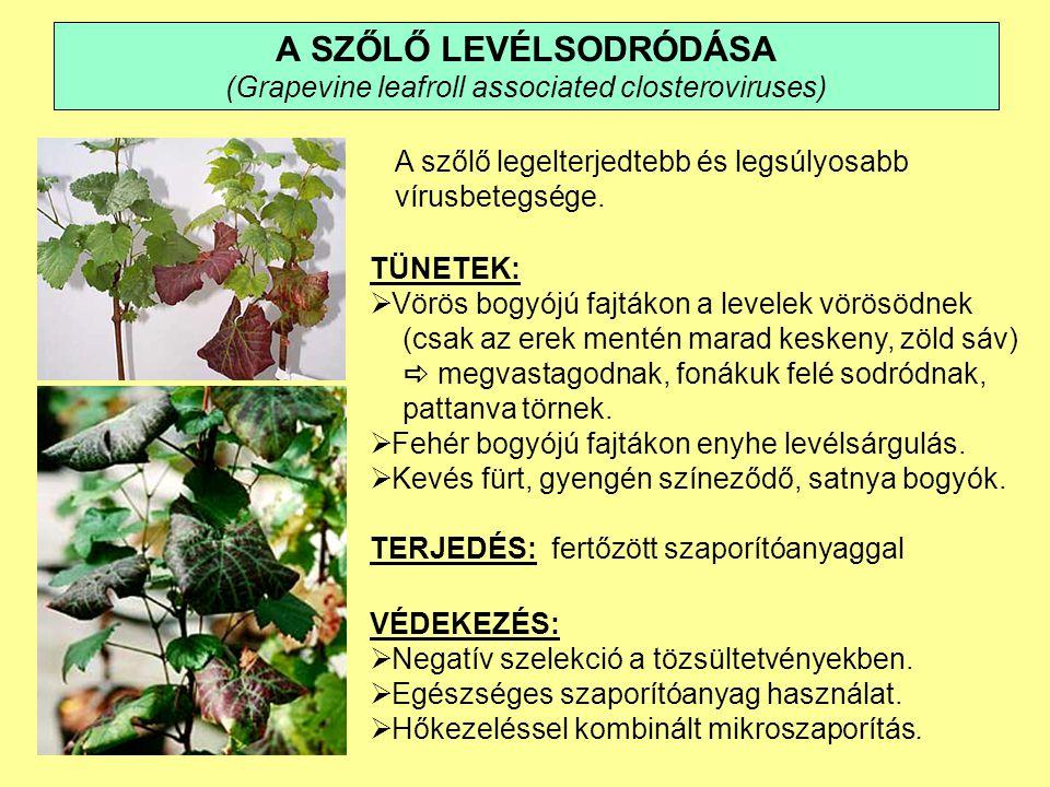 A SZŐLŐ LEVÉLSODRÓDÁSA (Grapevine leafroll associated closteroviruses)