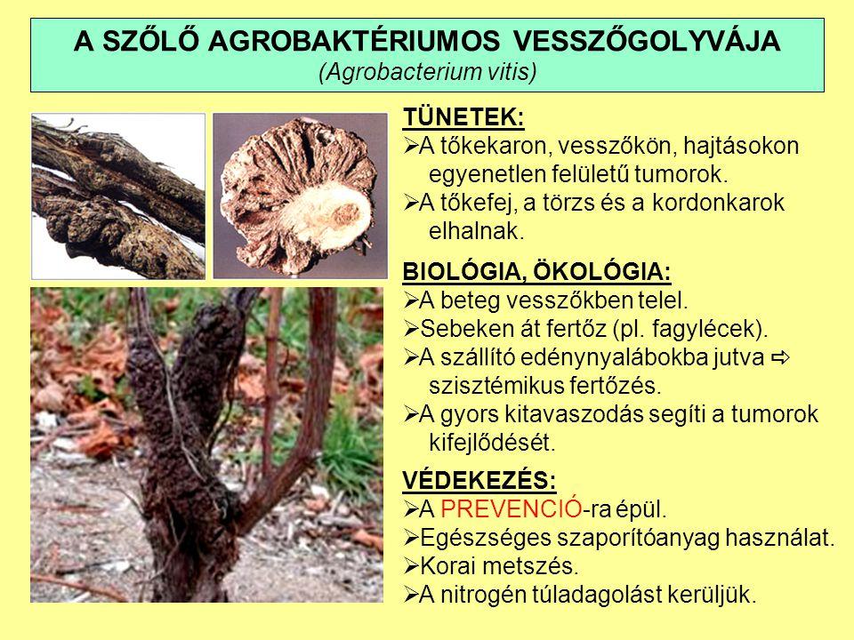 A SZŐLŐ AGROBAKTÉRIUMOS VESSZŐGOLYVÁJA (Agrobacterium vitis)